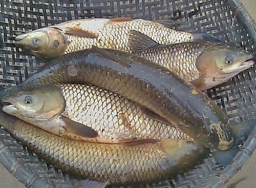 Cá Trôi, Trắm, Chép Nguyễn Văn Tám