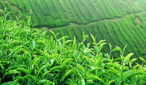 Chè Thọ Quang vietgap