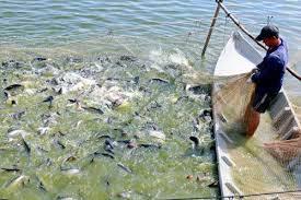 Hộ nuôi cá tra Đặng Thành Quân
