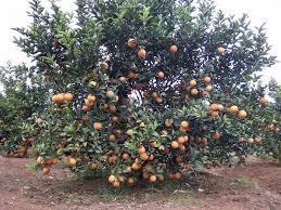 HTX trồng và tiêu thụ cam Lạc Sơn