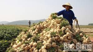 THT cánh đồng mẫu Chu Điện