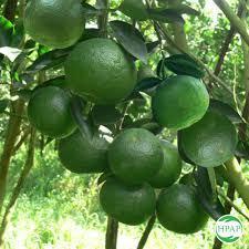 THT sản xuất cam an toàn theo tiêu chuẩn VietGAP thị trấn Quân Chu