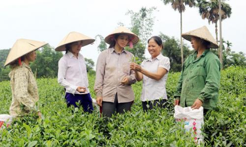 Tổ hợp tác dịch vụ trồng và chế biến chè Cao Sản