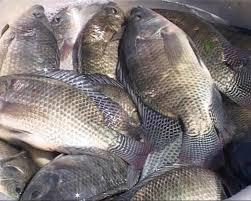 Tổ hợp tác nuôi cá Phú Điền
