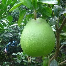 Tổ hợp tác trồng bưởi Tân Phong
