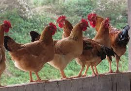 Trại gà Ngô Thị Huỳnh Nga