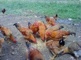 Trại gà Thịt Định Quán.